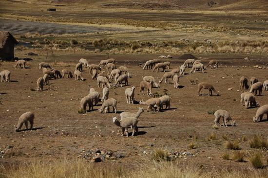 Alpagas entre Puno et Cuzco
