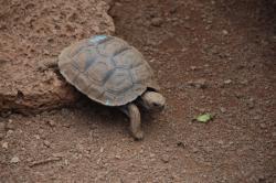 Petite tortue terrestre.jpg