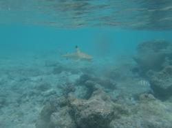 Requin pointe noire dans l'aquarium